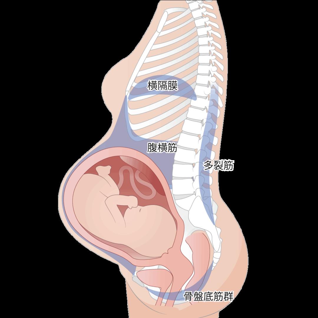 妊娠中のカラダ